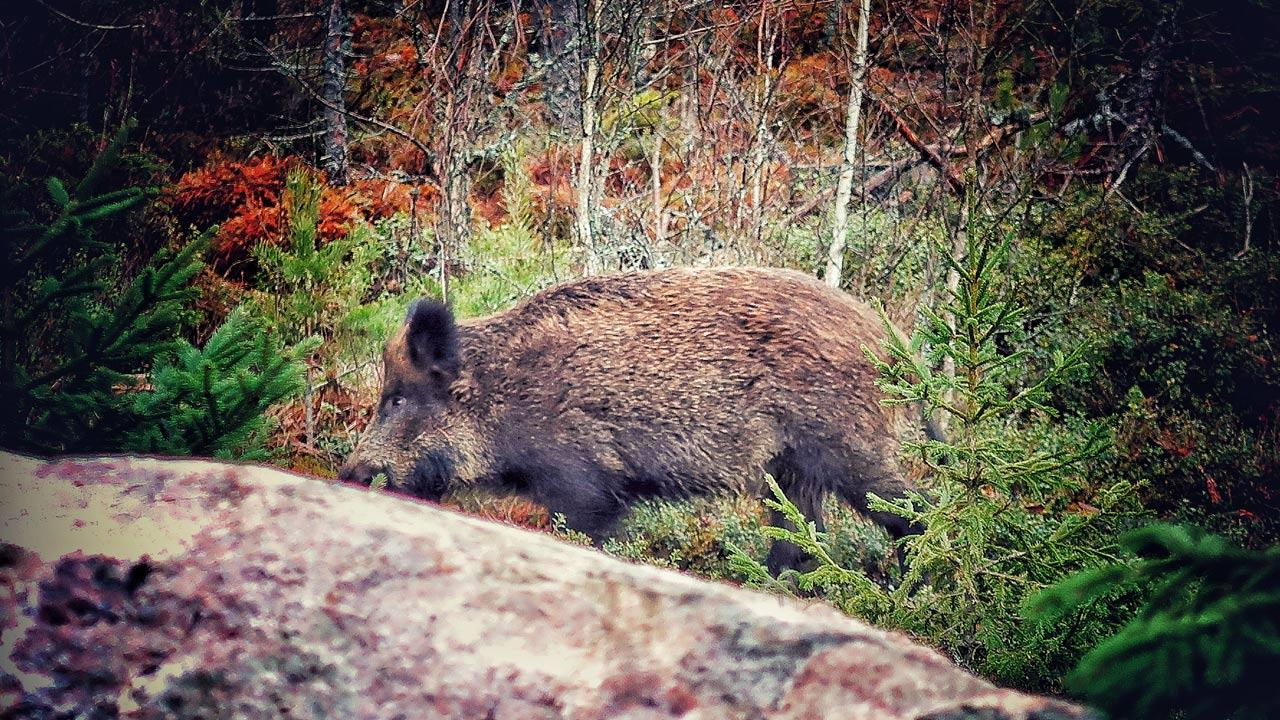 Tierische Begegnungen - Wildschweinrotte im Wald getroffen